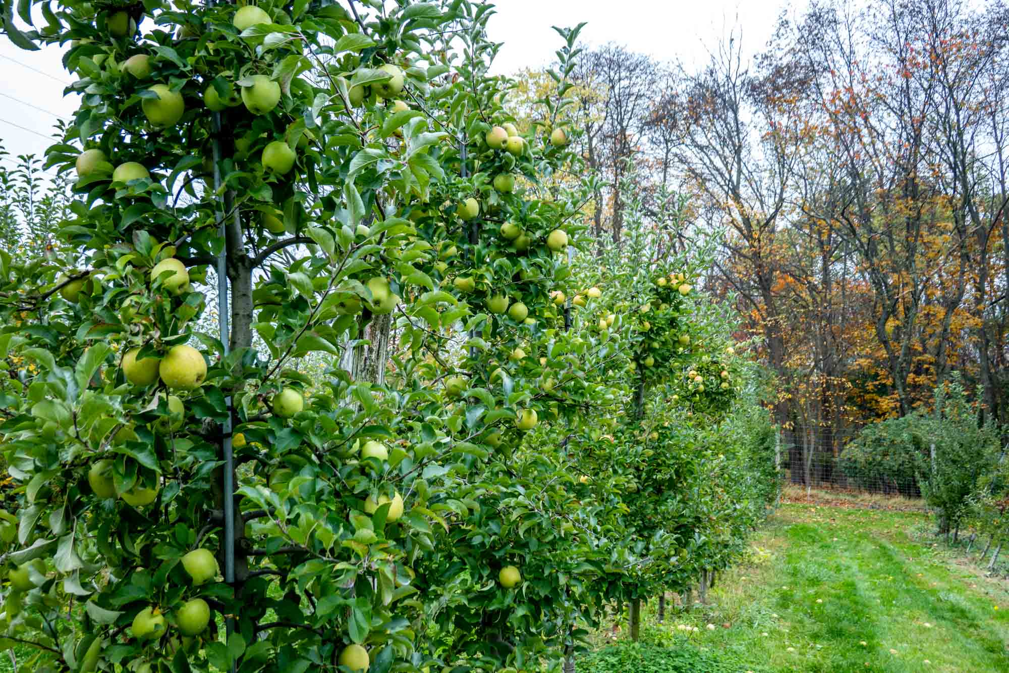 Green apples on rows of trees