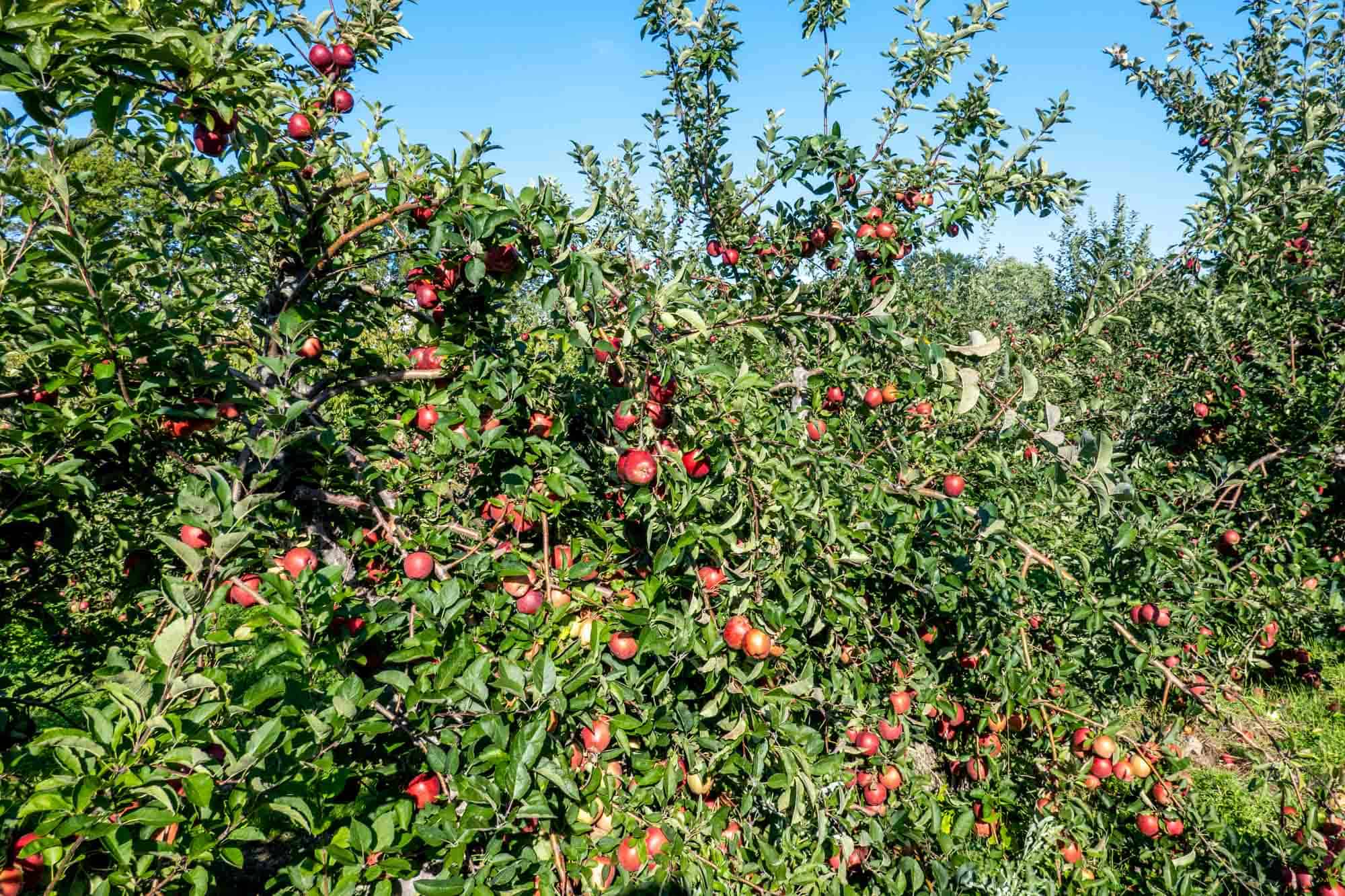 Lots of red apples on trees in an orchard