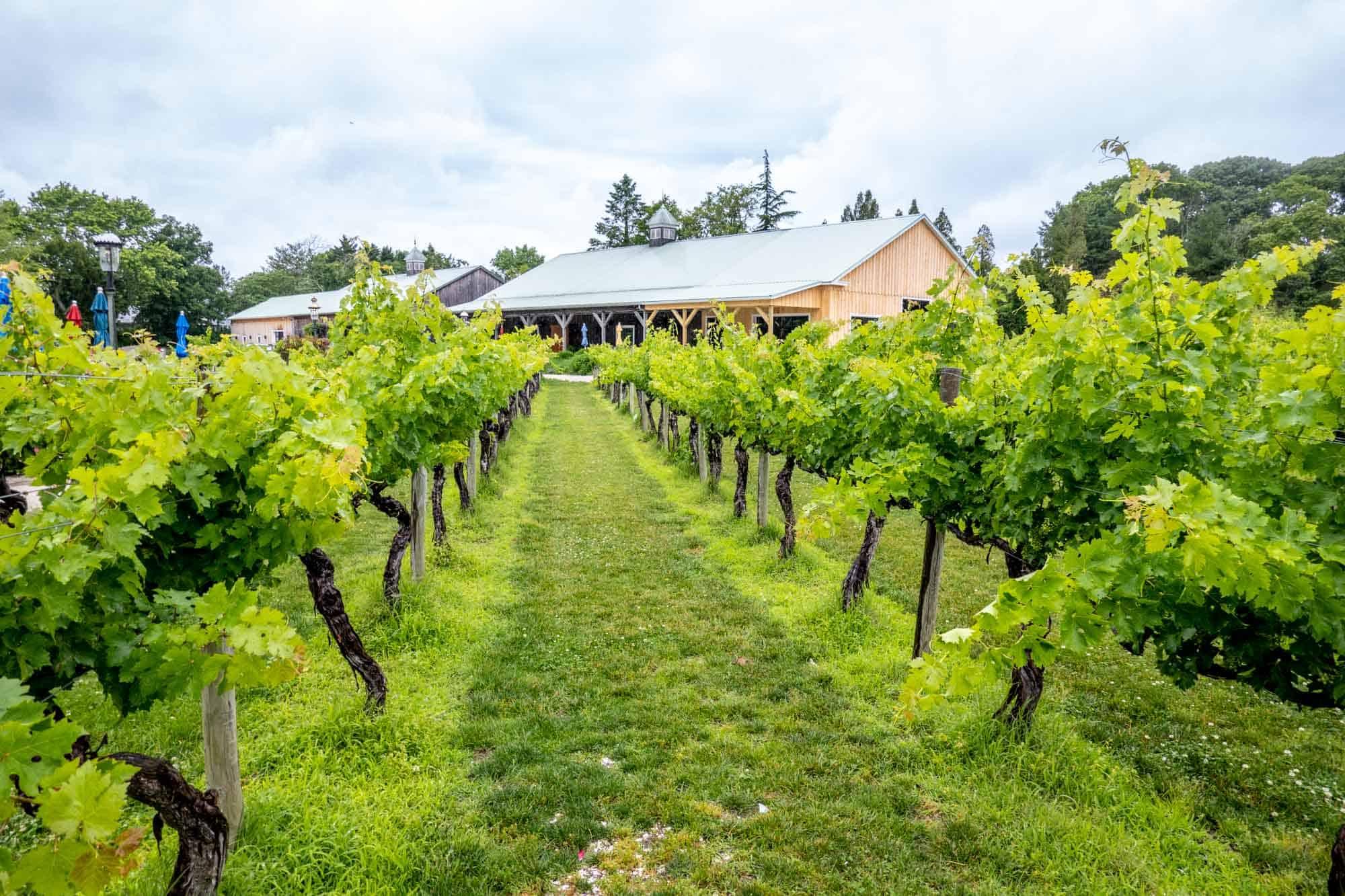 Grape vines at Cape May Winery