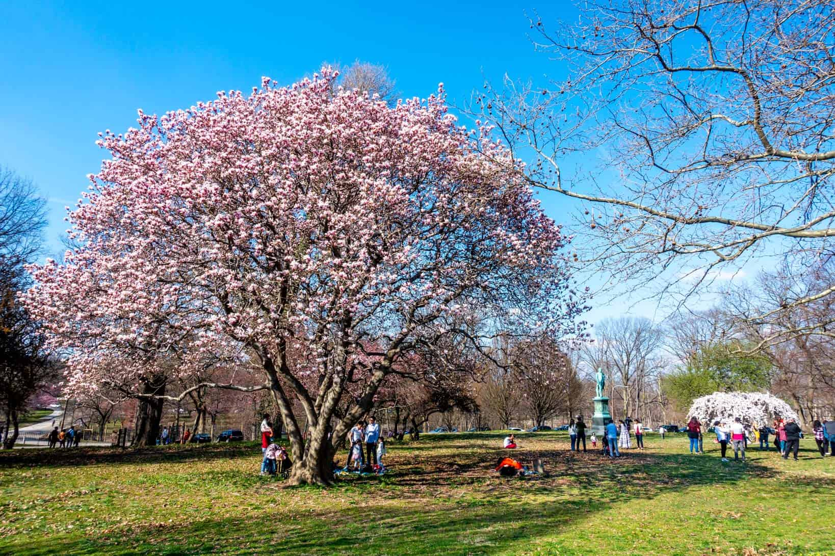 People standing under pink and white cherry blossom trees