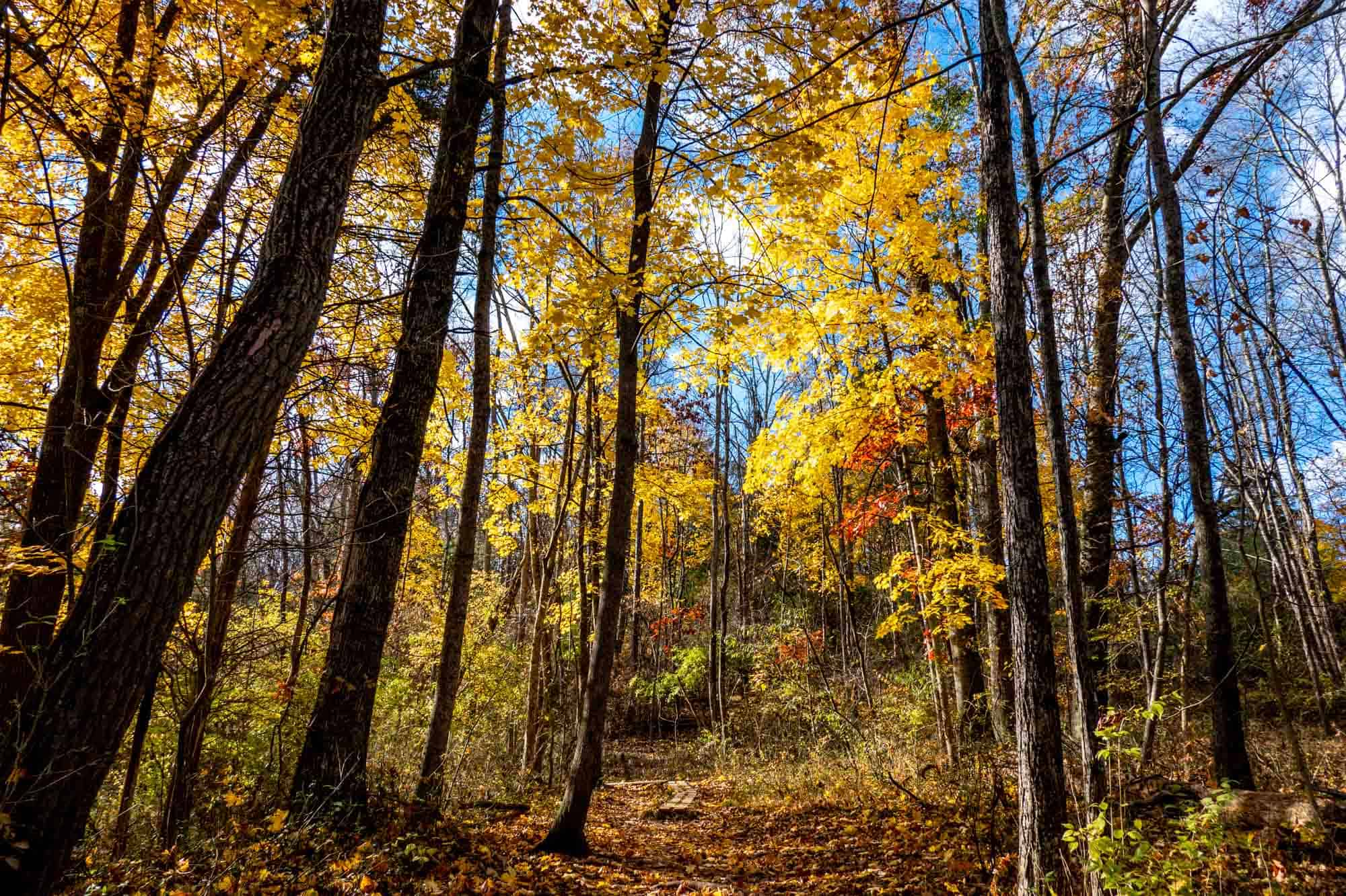 Woods in the late fall with some bare trees and others covered in bright yellow leaves