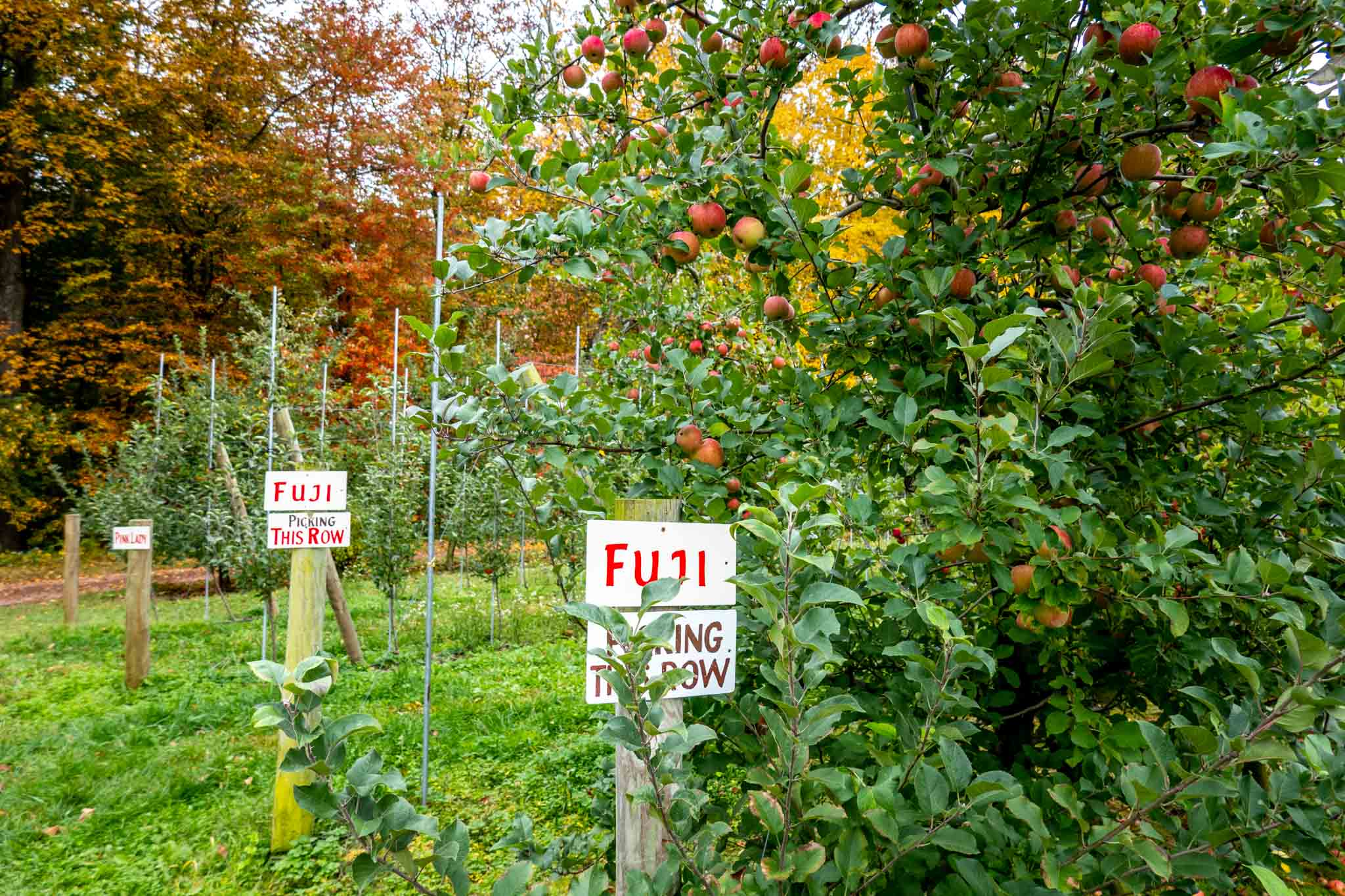 Apples in an orchard with signs marking the kind of apple to be picked