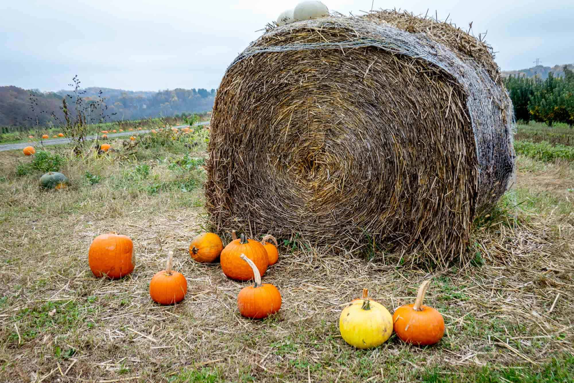 Orange and yellow pumpkins on the ground in front of a hay bale in a pumpkin patch