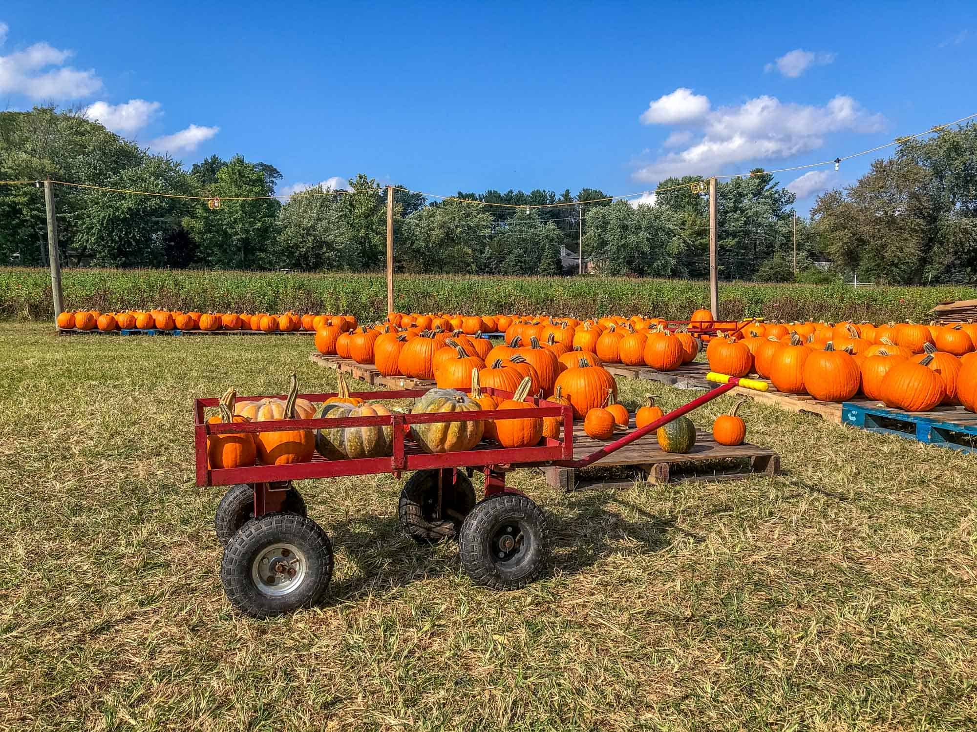 Pumpkins on wooden pallets and in a wagon at a farm