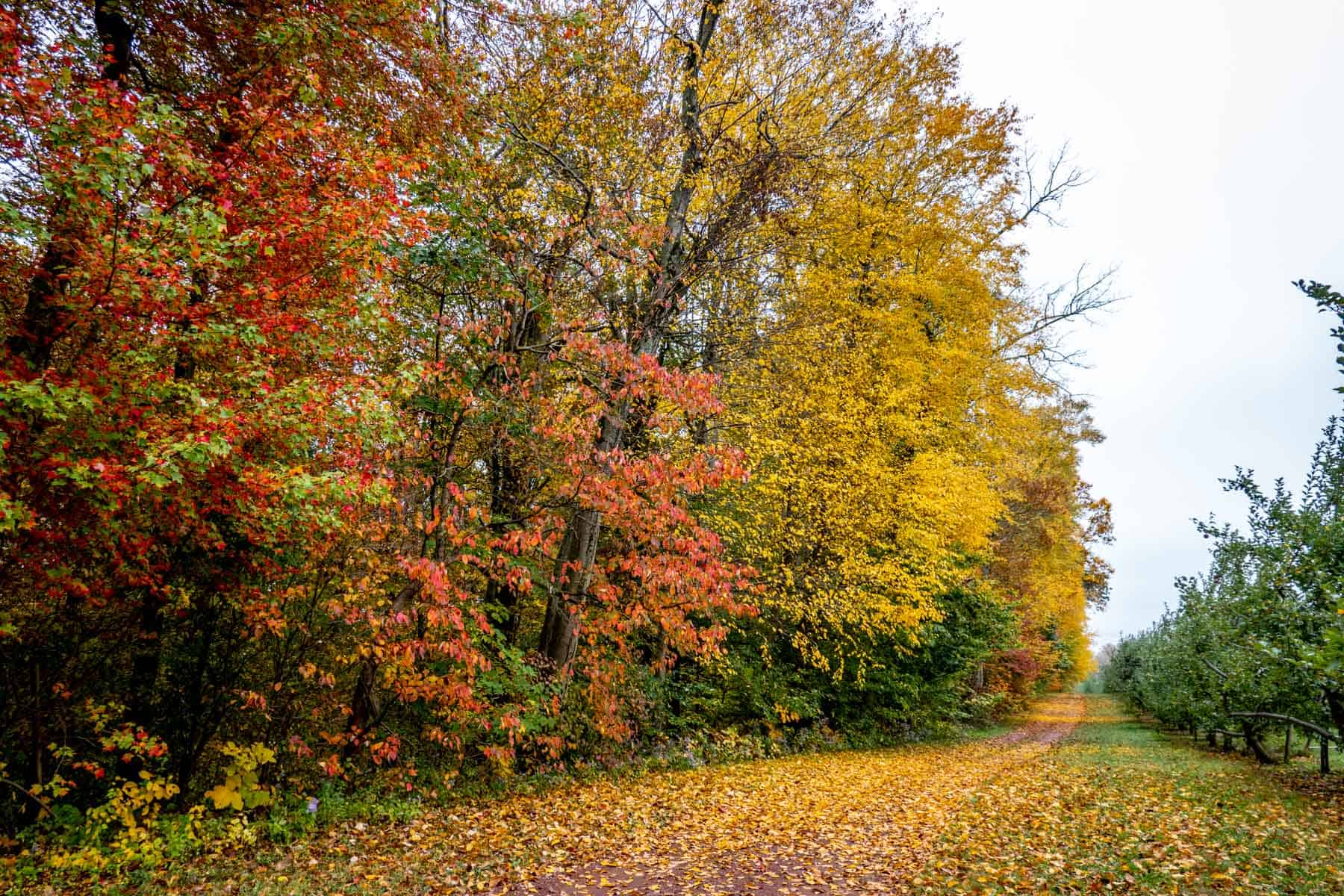A path between a row of apple trees and a row of trees in bright fall colors