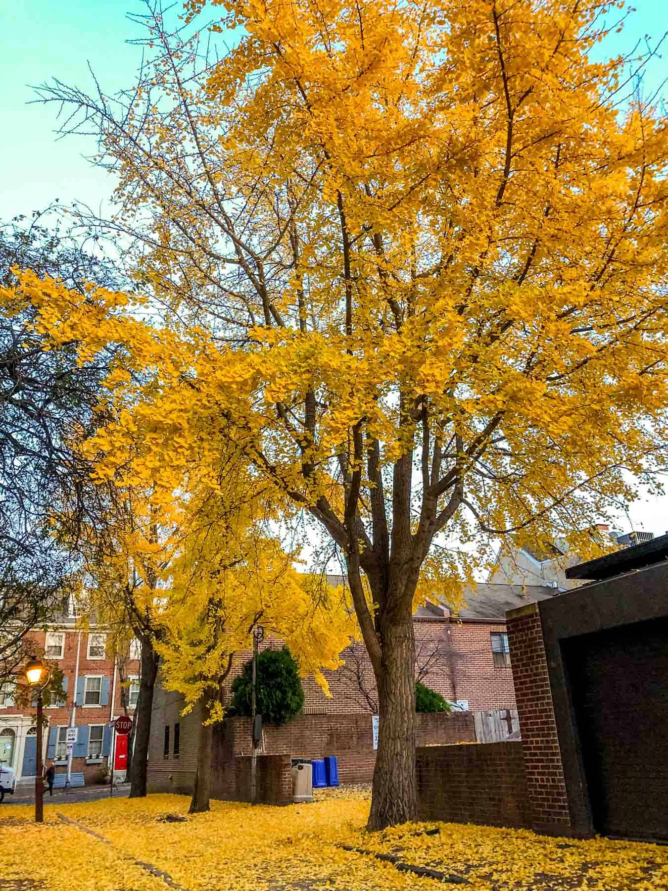 Bright yellow tree on a street covered with yellow leaves